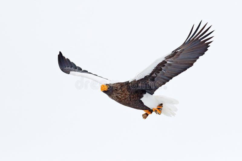 Steller ` s denny orzeł, Haliaeetus pelagicus, latający ptak zdobycz, z niebieskim niebem w tle, hokkaido, Japonia Eagle z naturą fotografia stock