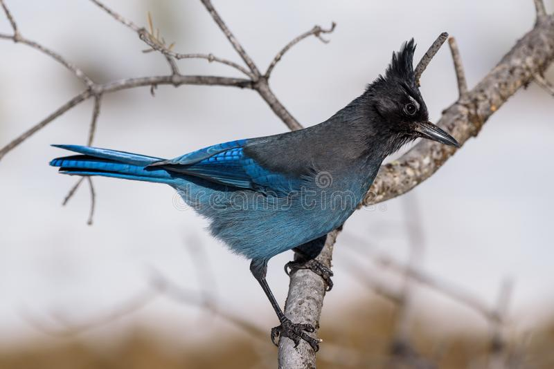 Steller ` s Jay On een Boomtak royalty-vrije stock foto