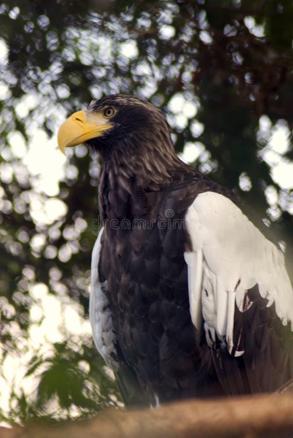 Steller` s overzeese adelaar royalty-vrije stock fotografie