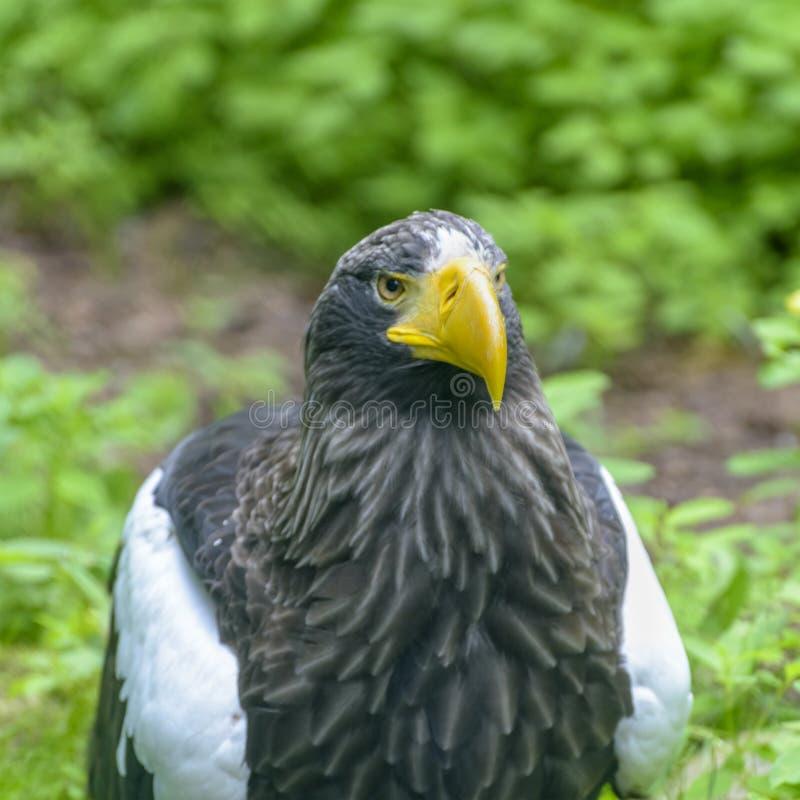 Steller` s overzeese adelaar in Walsrode-Vogelpark, Duitsland Sluit omhoog stock afbeelding