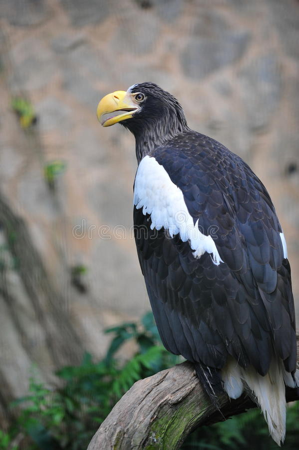 Download Steller's Sea Eagle Royalty Free Stock Photos - Image: 23006928