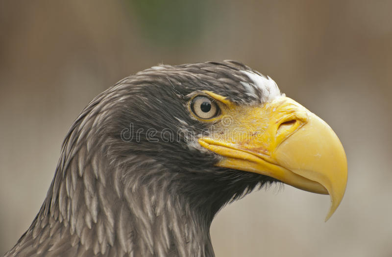 Steller´s Sea Eagle. The Steller´s Sea Eagle is a large bird of prey stock photo