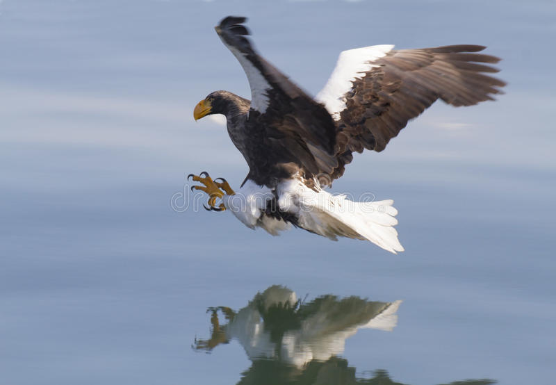 Steller's sea eagle attacks. Reflected in blue water. The largest bird of prey of the northern hemisphere royalty free stock photo