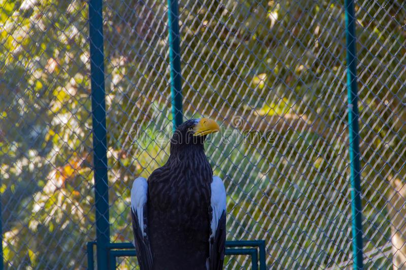 Steller`s Sea Eagle royalty free stock photography