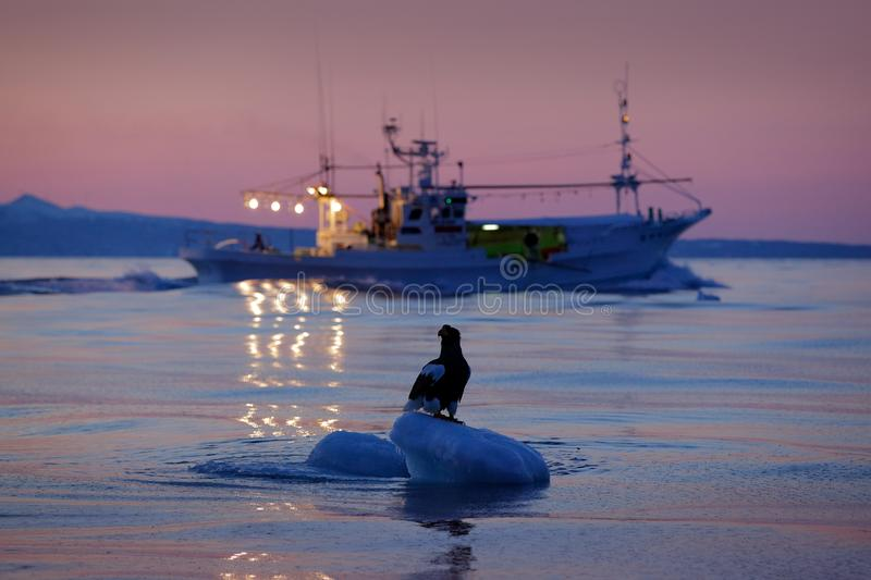 Steller`s sea eagle with fish boat, Haliaeetus pelagicus, morning sunrise, Hokkaido, Japan. Eagle floating in sea ice. Wildlife b stock photography