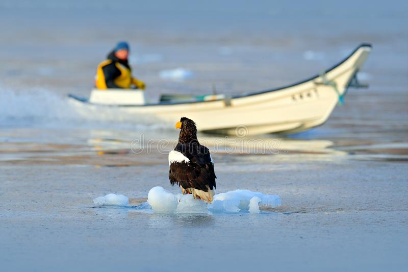 Steller`s sea eagle with fish boat, Haliaeetus pelagicus, morning sunrise, Hokkaido, Japan. Eagle floating in sea ice. Wildlife b royalty free stock image