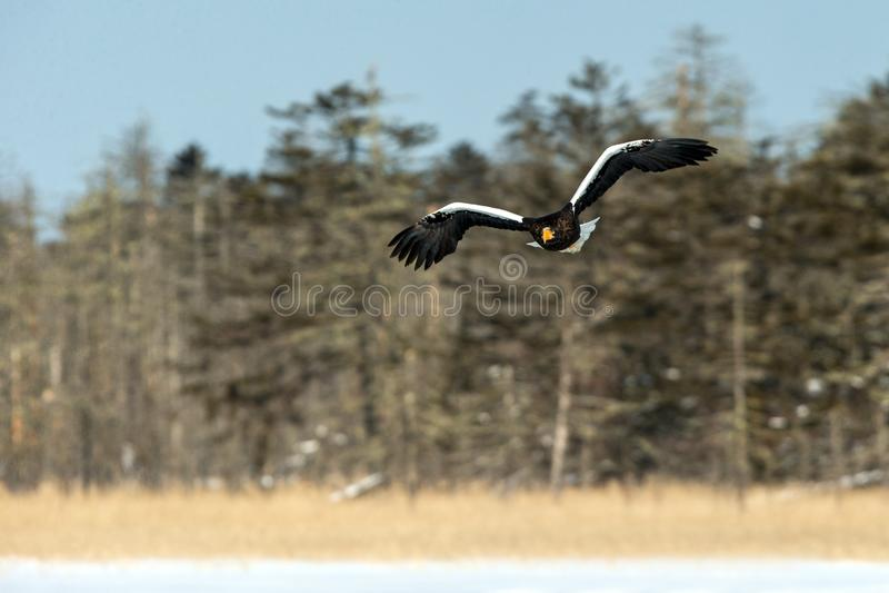 Steller`s sea eagle in flight, Hokkaido, Japan, majestic sea raptors with big claws and beaks, wildlife scene from nature,birding royalty free stock photos