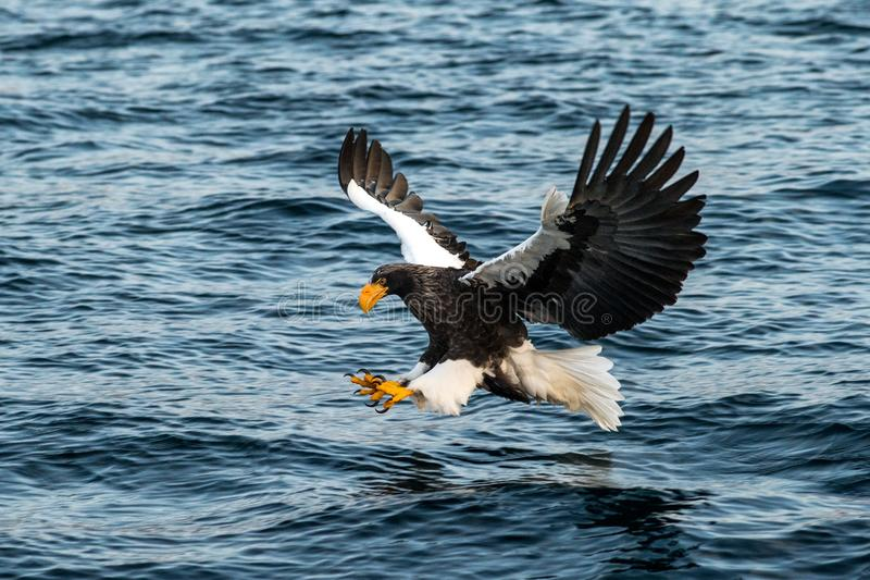 Steller`s sea eagle in flight hunting fish from sea at sunrise,Hokkaido, Japan, majestic sea eagle with big claws aiming to catch. Fish from water surface stock image