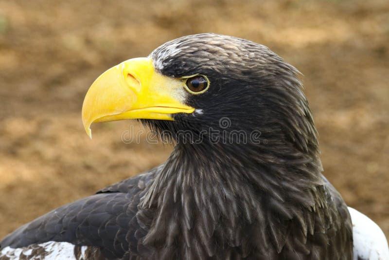 Steller`s Sea Eagle Haliaeetus pelagicus bird of prey royalty free stock photos