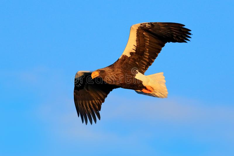 Steller`s sea eagle, Haliaeetus pelagicus, flying bird of prey, with blue sky in background, Hokkaido, Japan. Eagle fly, open win. G royalty free stock photo
