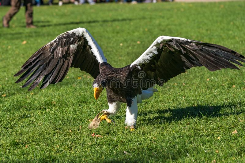 The Steller`s sea eagle, Haliaeetus pelagicus s a large bird of prey royalty free stock photos