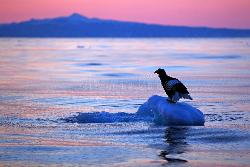 Steller`s sea eagle, Haliaeetus pelagicus, morning sunrise, Hokkaido, Japan. Eagle floating in sea on ice. Wildlife behaviour sce stock photos