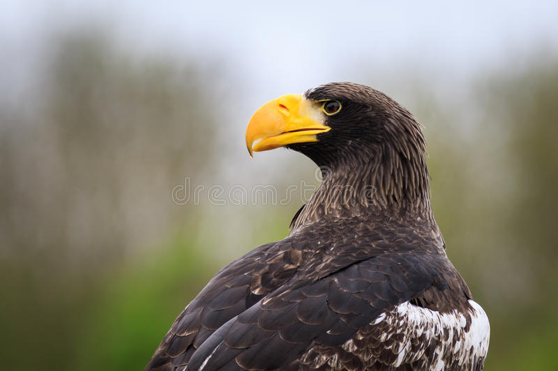 Steller`s sea eagle Haliaeetus pelagicus stock photos