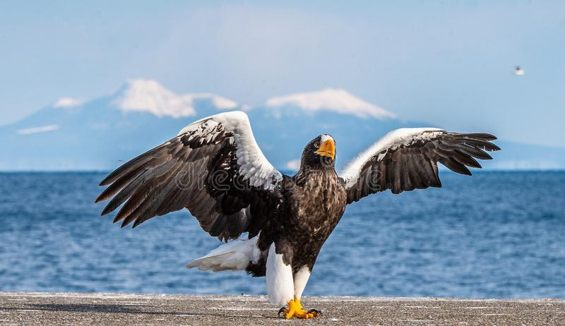 Steller`s sea eagle landing.  Scientific name: Haliaeetus pelagicus. Snow covered mountains, blue sky and ocean background. Winter Season stock images