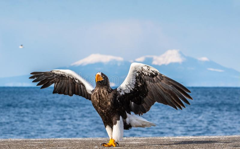 Steller`s sea eagle landing.  Scientific name: Haliaeetus pelagicus. Snow covered mountains, blue sky and ocean background. Winter Season royalty free stock photography