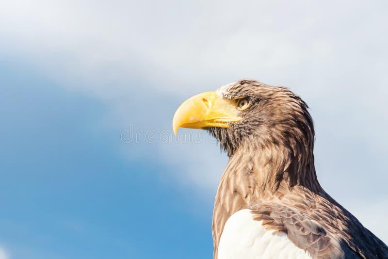 Steller`s sea eagle portrait Haliaeetus pelagicus royalty free stock image