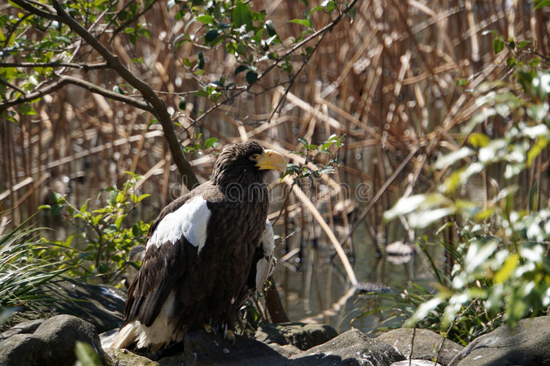 Steller`s sea eagle royalty free stock image