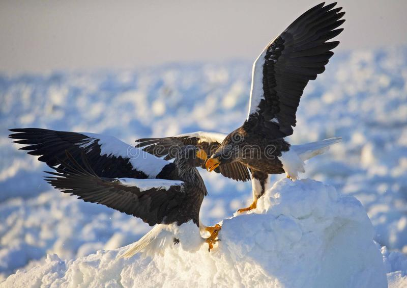Steller`s sea-eagle. Foraging in ice and snow royalty free stock image