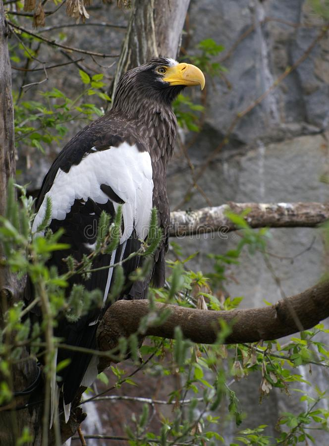 Steller`s sea eagle. Is a very interesting kind of bird, they are endowed with the highest intelligence that allows you to remember and recognize your Chicks royalty free stock photography