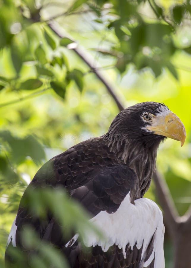 Steller-` s Seeadler Haliaeetus pelagicus lizenzfreies stockbild