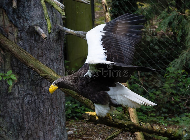 Steller Sea Eagle in Flight royalty free stock photos
