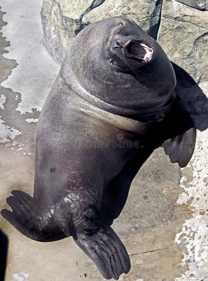Steller sea lion 1 royalty free stock photos