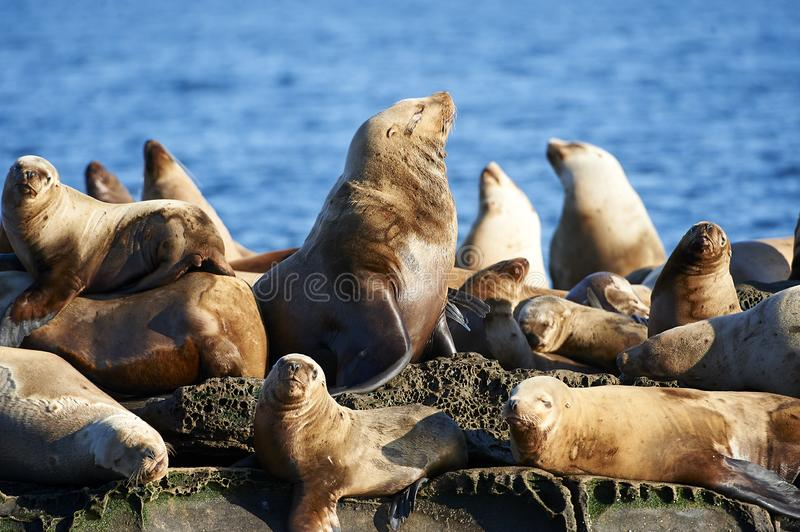 Steller Sea Lion Eumetopias jubatus. Also known as the Northern Sea Lion and Steller`s Sea Lion on rocks near Valdes Isand, British Columbia, Canada stock photography