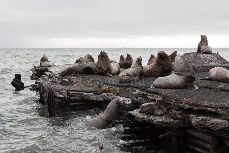 Steller Sea Lion or Northern Sea Lion (Eumetopias Jubatus) rookery. Kamchatka Peninsula royalty free stock images