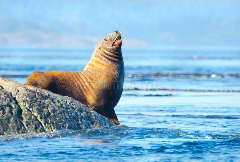 Steller Sea Lion royalty free stock image