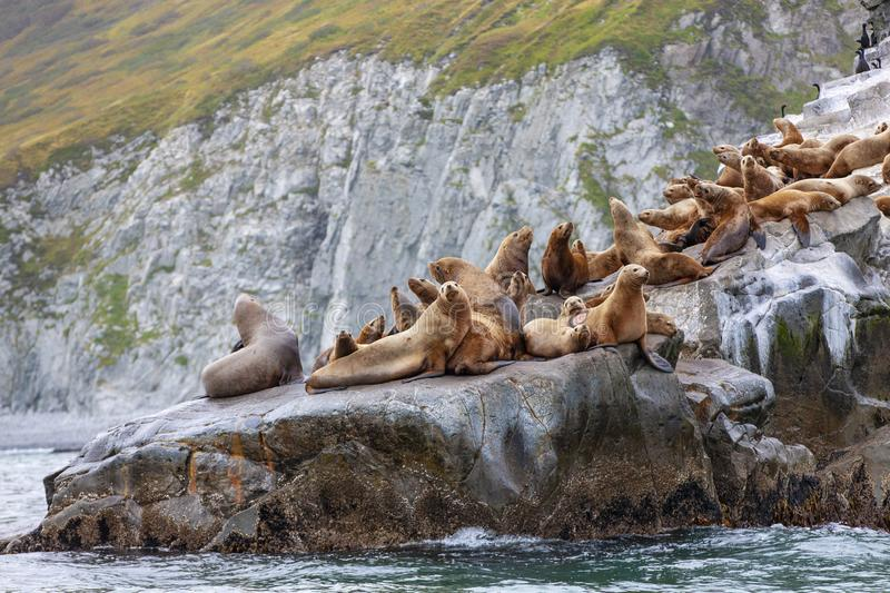 The Steller sea lion sitting on a rock island in the Pacific Ocean on kamchatka peninsula stock photography