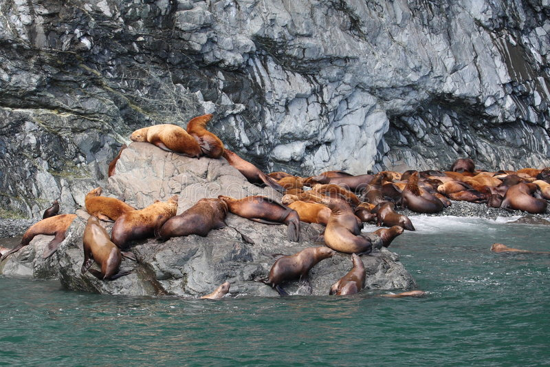 Download Steller Sea Lions stock image. Image of wildlife, nature - 5971081
