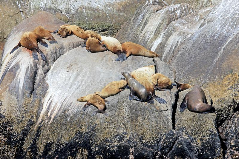 Steller Sea Lions on an Island in Kenai Fjords National Park in Alaska. Steller Sea Lions, latin name Eumetopias Jubatus, on an Island in Kenai Fjords National royalty free stock photos