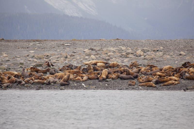 Steller sjölejon i alaska Eumetopiasjubatus royaltyfria foton