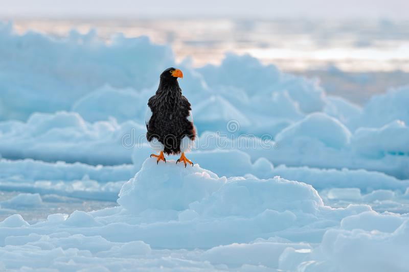 Stellerl`s sea eagle, Haliaeetus pelagicus, bird with catch fish, with white snow, Sakhalin, Russia. Eagle on ice. Winter Japan wi. Ldlife royalty free stock photos