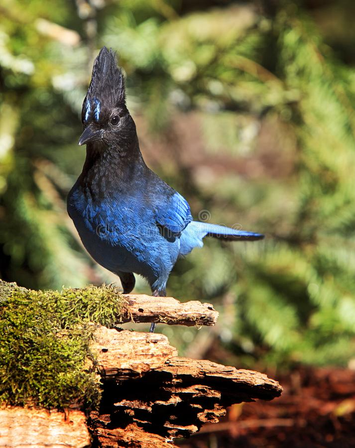Stellers Jay auf Moss Covered Log stockfotografie