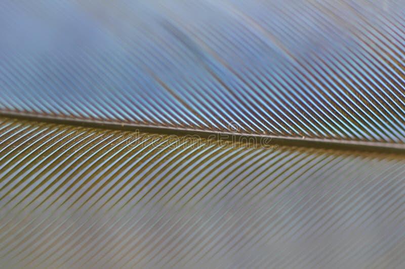 Stellers Jay Feather Detail lizenzfreies stockfoto