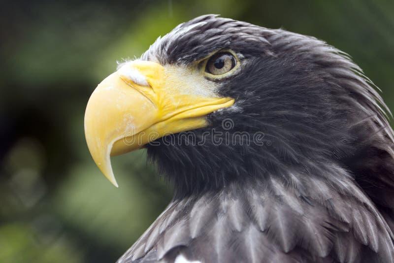 Stellers Meer Eagle, Fleischfresser mit dem gelben Schnabel und das Schauen von Augen bedeuten stockfoto