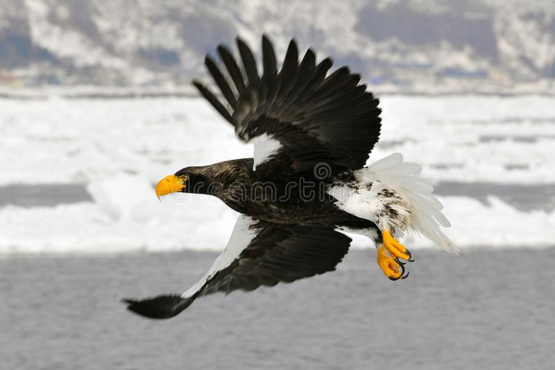 Stellers overzees-Eagle, Steller -steller-zeearend, Haliaeetus-pelagicus royalty-vrije stock foto's