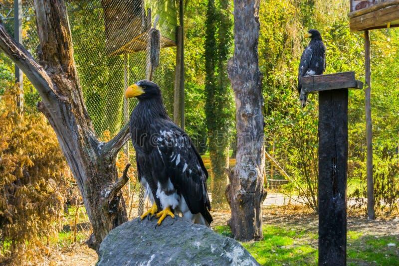 Stellers overzeese adelaarszitting op een rots met een andere overzeese adelaar op de achtergrond, bedreigde roofvogel van Japan stock fotografie