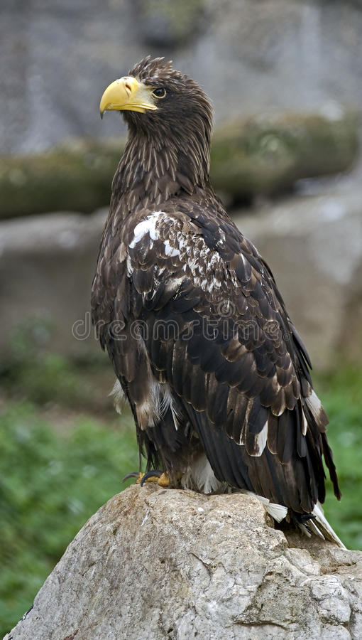 Stellers sea eagle 5 royalty free stock photo