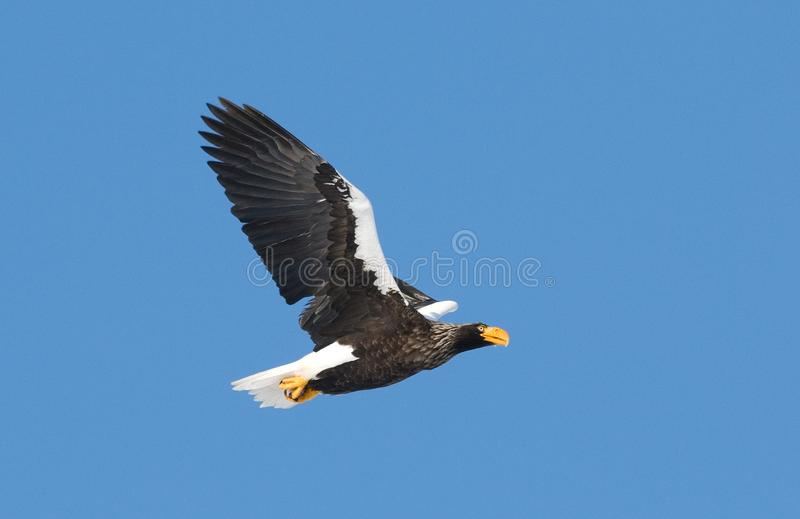 Stellers Sea-eagle, Steller-zeearend, Haliaeetus pelagicus royalty free stock photos