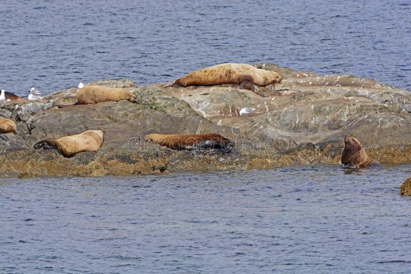 Stellerscher Seelöwen auf einem Ozean-Felsen lizenzfreie stockfotos