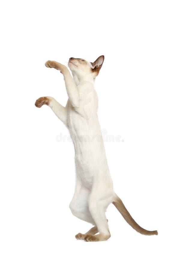 Stellung der siamesischen Katze lizenzfreies stockbild