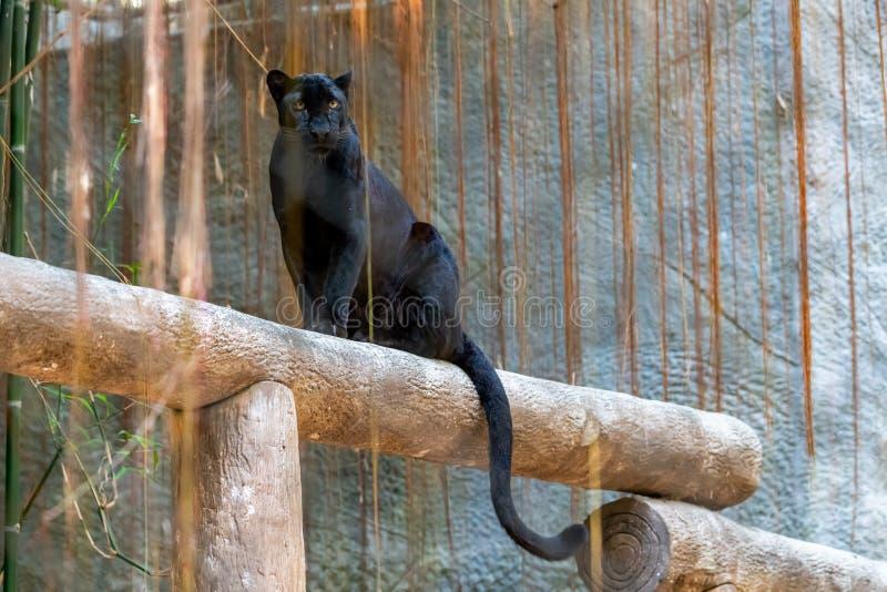 Stellung des schwarzen Panthers auf einem Klotz, der Kamera betrachtet lizenzfreies stockfoto