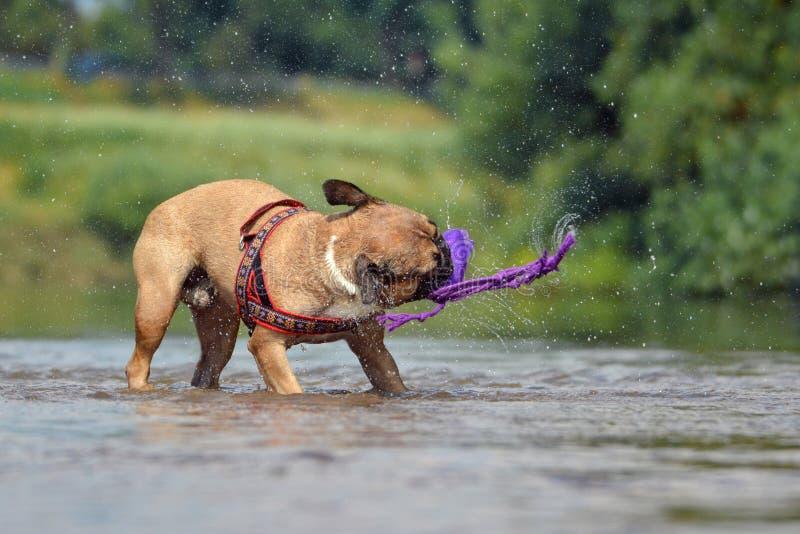 Stellung französischer Bulldogge Browns im Fluss, der ein Hundespielzeug mit Wassertropfenfliegen ganz herum rüttelt lizenzfreies stockfoto