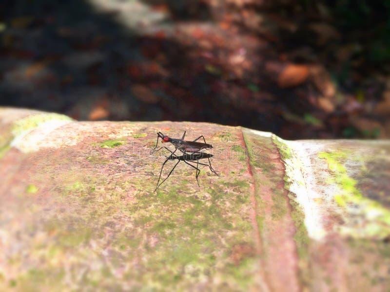 Stelze-mit Beinen versehene Fliege (micropezidae) lizenzfreie stockbilder