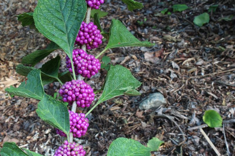 Stem from an American beauty berry bush with purple berries and background soft royalty free stock image