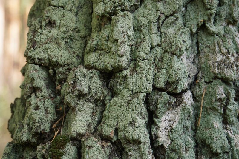 Stem of a Birch. With Moss royalty free stock photos