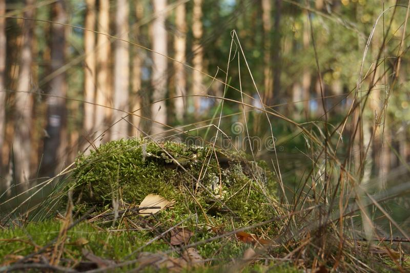 Stem of a Birch. With Moss stock photos