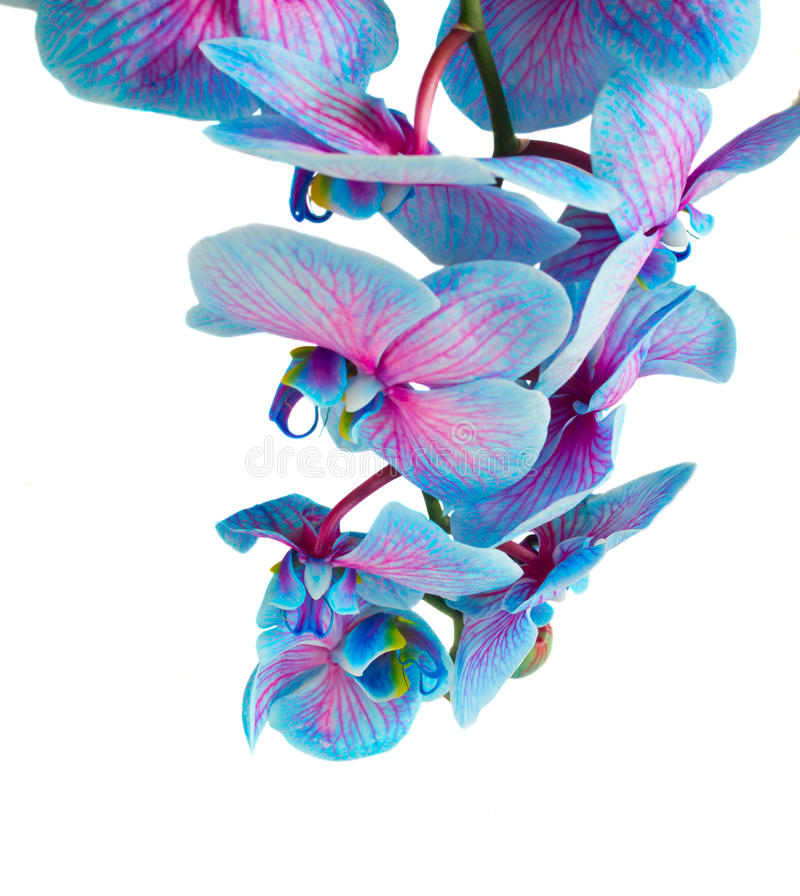 Stem of blue orchids stock image